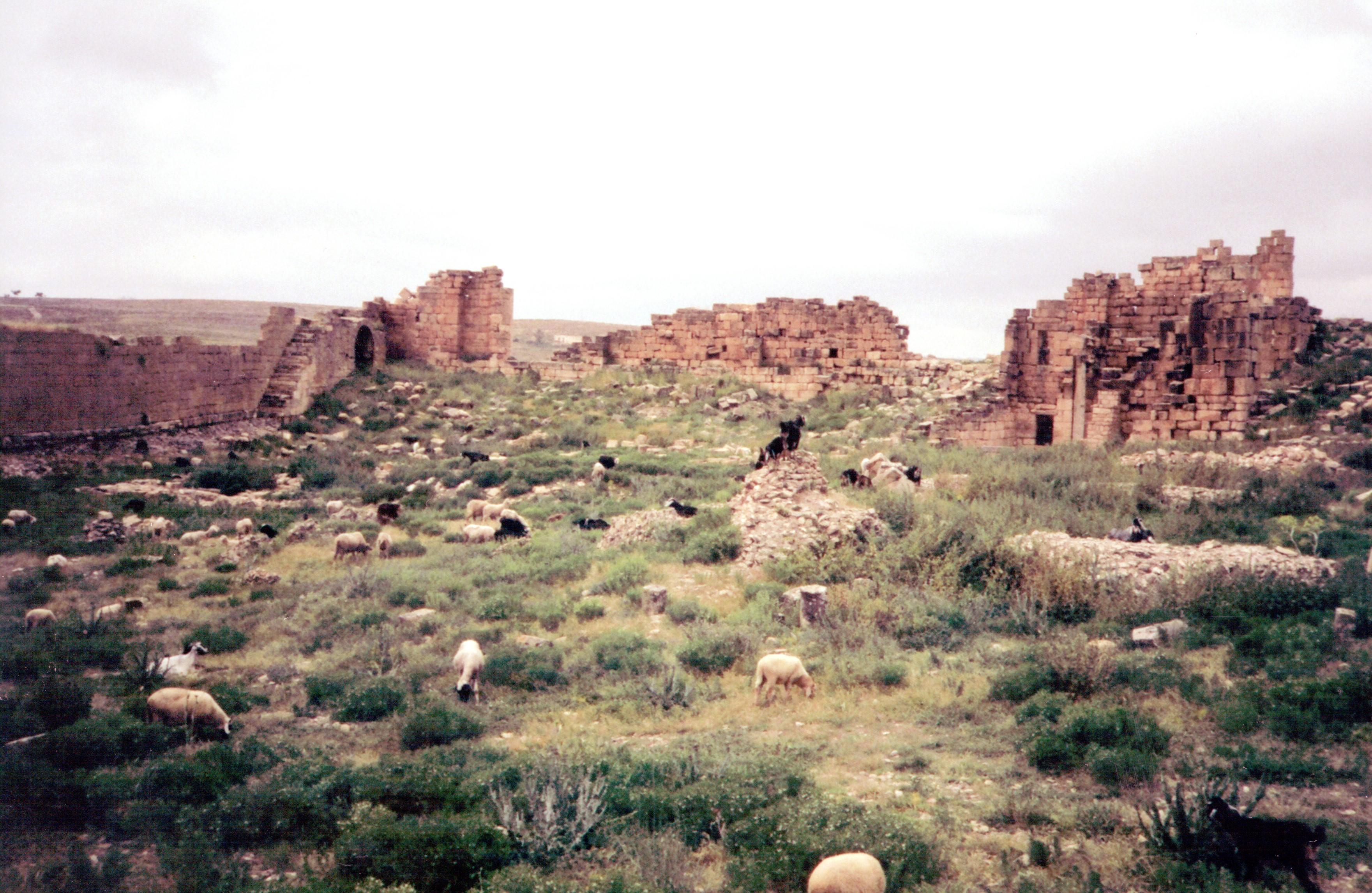 Vanha kuva, rauniot ja lampaita